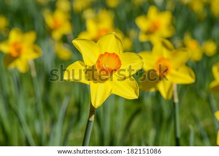 Daffodil in Spring - stock photo