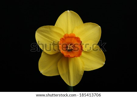 Daffodil shot under studio light on black background  - stock photo