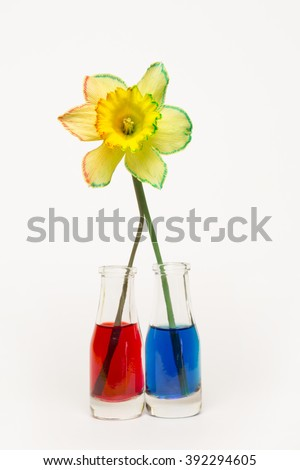 Daffodil Split Stem Half Water Red Stock Photo (Safe to Use ...