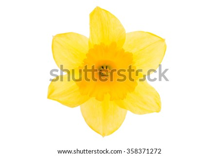 daffodil yellow flower on a white background - stock photo