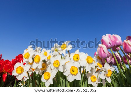 Daffodils and tulips grouped together to make a wall of springtime flowers against a clear blue sky background. - stock photo