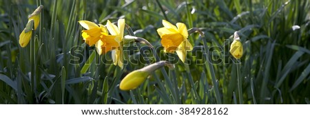 Daffodils are the Welsh Flower. Bright yellow daffodils in the fields of Wales herald the coming of Spring. - stock photo