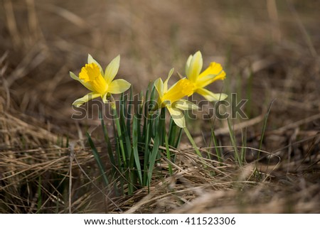 Daffodils blooming in spring on a background of dry grass. - stock photo