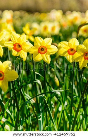 Daffodils closeup. Field with yellow daffodils - stock photo