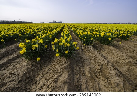 Daffodils growing in a flowerbed field in Norkfolk, England - stock photo