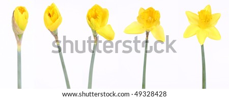 Daffodils in different stages of blooming on white background - stock photo