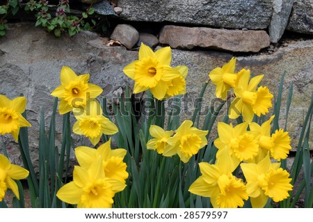 daffodils in front of stone wall - stock photo