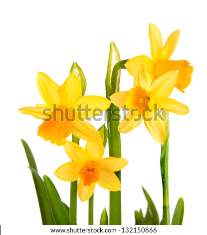 Daffodils. In isolation. - stock photo