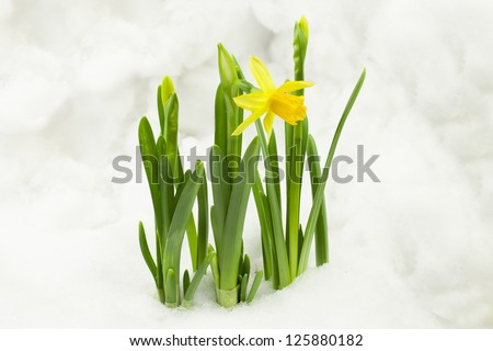 Daffodils in the snow - stock photo