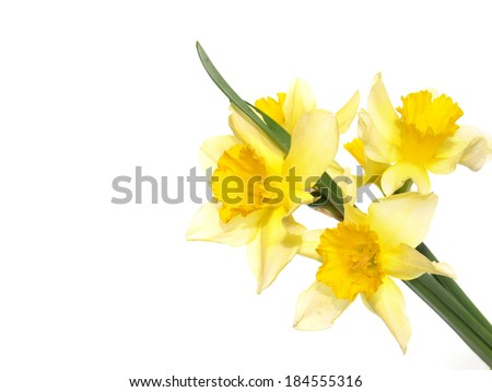 Daffodils isolated on white background - stock photo