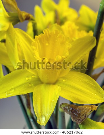 Dafodil tellow in close up in spring - stock photo