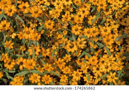 Dahlberg Daisy or Golden Fleece or Gold Carpet�flower.  - stock photo