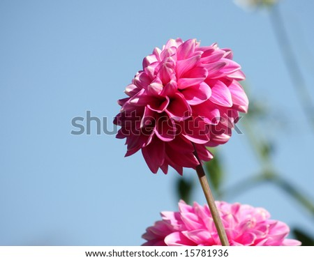 dahlia - stock photo