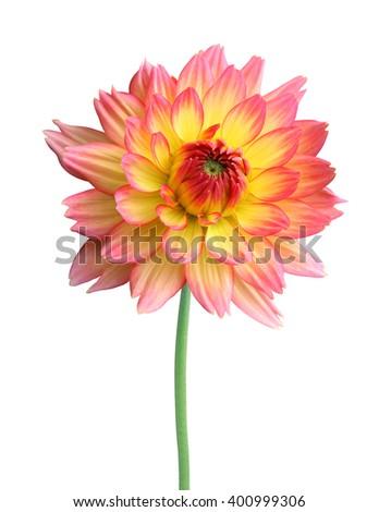 Dahlia Autumn flower isolated on white background - stock photo