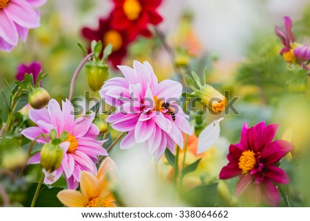dahlia flower, Bees are harvesting pollen - stock photo