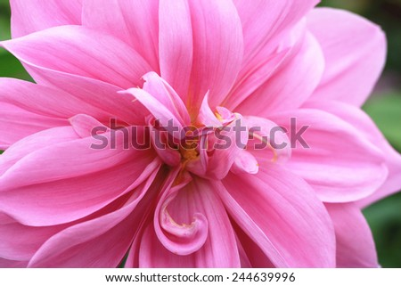 Dahlia flower,closeup of pink dahlia flower in full bloom in the garden - stock photo