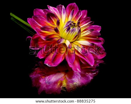 dahlia flower on a black background with water drops - stock photo