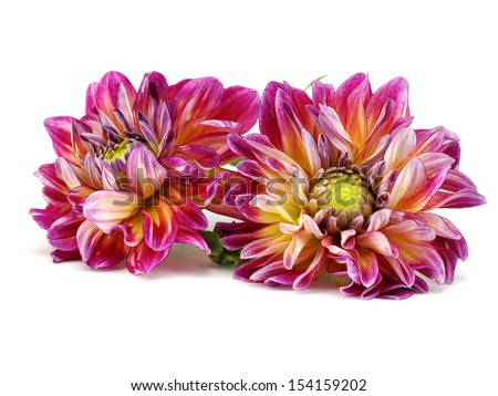 Dahlia flower on a white background - stock photo