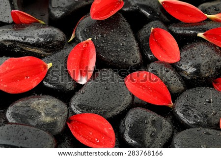 dahlia flower petals on black stones with water drops - stock photo
