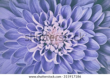 Dahlia flower petals pattern close-up. Vintage, faded blue floral background