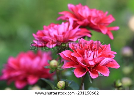 Dahlia flowers and buds,closeup of red Dahlia flower in full bloom  - stock photo