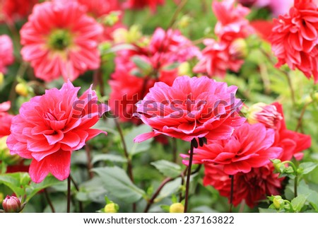 Dahlia flowers and buds,closeup of red Dahlia flowers in full bloom in garden  - stock photo