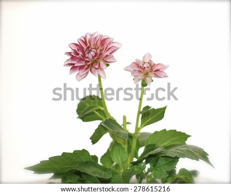dahlia,  houseplant, extraordinary flowers, wallpaper, decoration, potted, green, floral, tropical, white, spring, burgeon, pot, petal, floret, flower, leaf, botanical, bright, summer, blossom, bloom, - stock photo