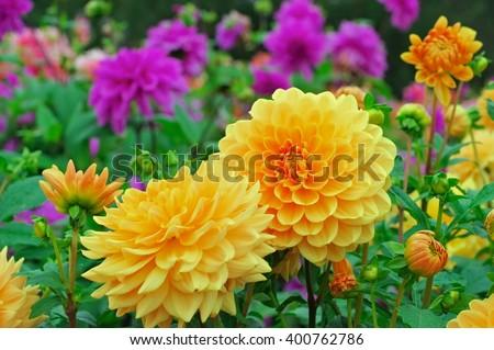 Dahlia in summer, is called Orange Garden - stock photo