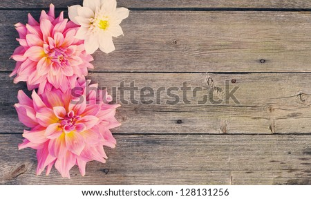 dahlia on wooden background - stock photo