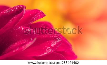 Dahlia Petals Close-Up (16:9 Aspect Ratio) - stock photo