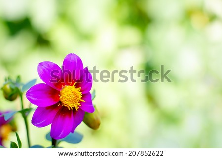 Dahlia variabilis flowers in summer garden natural background - stock photo