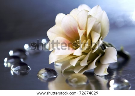 Dahlia, white-yellow flowers with water drops, beautiful background - stock photo