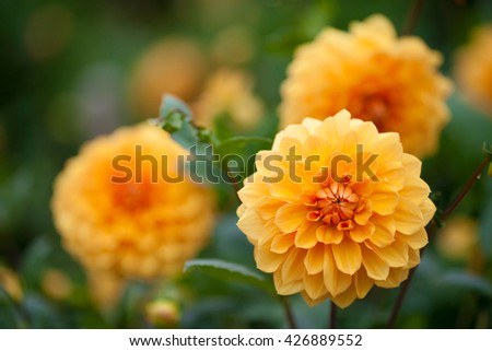 Dahlia yellow and orange flowers in garden - stock photo