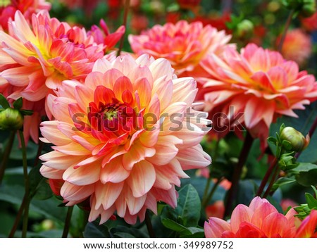 Dahlias  - stock photo