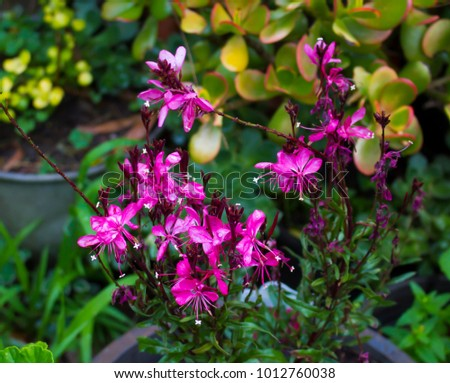 Dainty elegant gaura species australian butterfly stock photo dainty elegant gaura species of australian butterfly bush with burgundy pink flowers adds cottage garden charm mightylinksfo