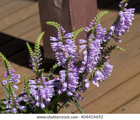 Dainty mauve flowers of Physostegia virginiana Vivid- Obedient Plant, False Dragonhead a species of flowering plant in the mint family,Lamiaceae  a rhizomatous perennial herb  with green foliage. - stock photo