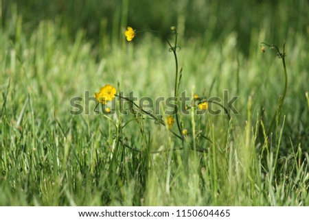 Dainty yellow flowers stand out tall stock photo royalty free dainty yellow flowers stand out in tall green grass mightylinksfo