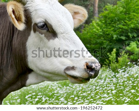 Dairy cattle on green grass in the farm - stock photo