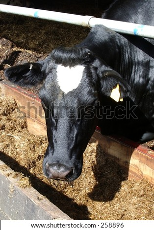 dairy cow - stock photo