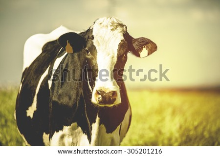 Dairy cow at countryside, beautiful sky in the background. Vintage style. - stock photo
