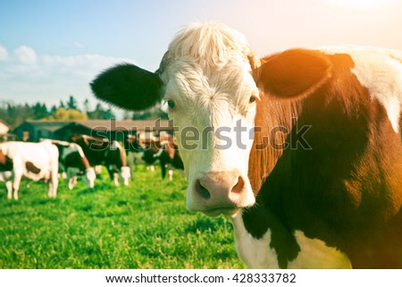 Dairy Cow. Cows at summer green field