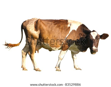Dairy cow, spotted color, looks at the camera, isolated on a white background. Side view.