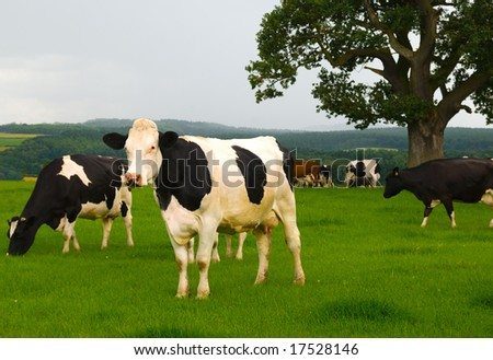Dairy cows in a lush green field - stock photo
