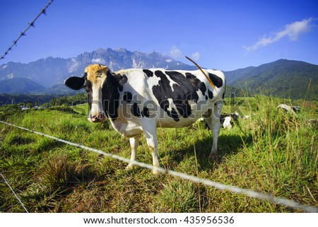 Dairy cows in paddock eating fresh grass under the blue sky with majestic mount kinabalu at background - stock photo