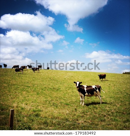 Dairy cows in paddock, New Zealand - stock photo