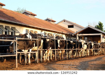 Dairy Farm and Milking Cows. Cows waiting to be milked in milking shed on farm. - stock photo