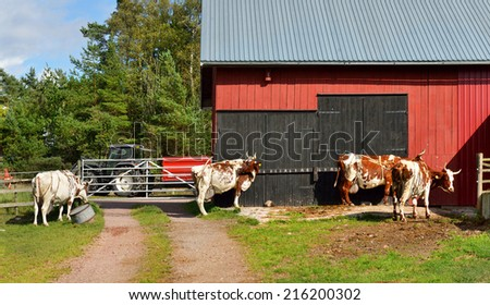 Dairy farm in Aland Islands, Finland. Cows go to barn at milking - stock photo