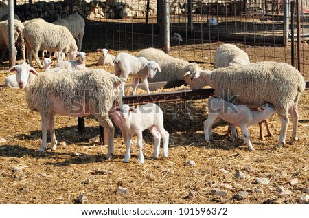 Dairy sheep farm in the Negev desert, Israel. - stock photo