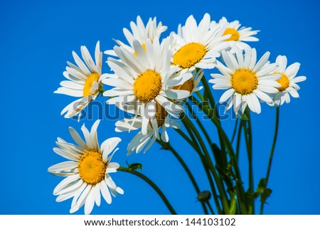 daisies against blue sky on a sunny day - stock photo