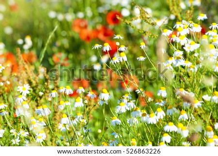Daisies and Red Poppies on a Meadow in Spring.